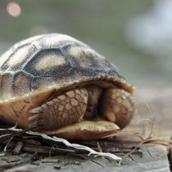 Hatchling Gopher Tortoise